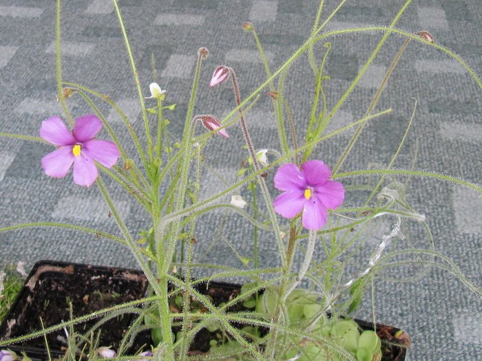 "B. filifolia ""Honeymoon Beach, Kimberley"""